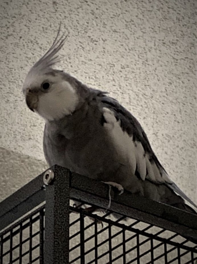 Rio the cockatiel
